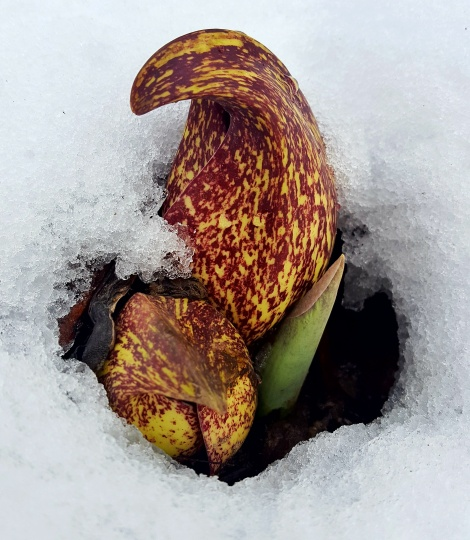 The Skunk Cabbage Plant - Symplocarpus foetidus