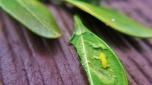 Boxwood Leafminer