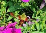 The Hummingbird Clearwing Moth, Hemaris thysbe