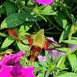 The Hummingbird Clearwing Moth, Hemaris thysbe