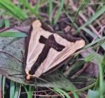The Clymene Moth, Haploa clymene