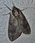 Catalpa Sphinx moth, Ceratomia catalpae