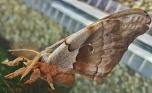 The Giant Silk Moth, Antheraea polyphemus