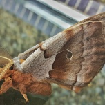 The Giant Silk Moth, Antheraea polyphemus