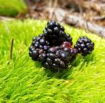 Rubus flagellaris, dewberry