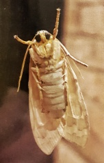 The Hickory Tussock Moth, Lophocampa caryae