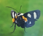 Eight Spotted Forester Moth - Alypia octomaculata