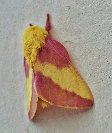 The Rosy Maple Moth, Dryocampa rubicunda