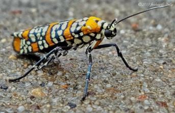The Ailanthus webworm moth, Atteva aurea