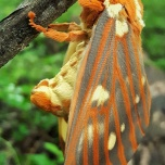 The Regal Moth, Citheronia regalis