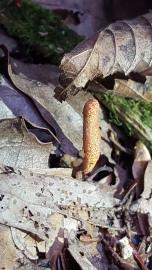 Cordyceps cardinalis