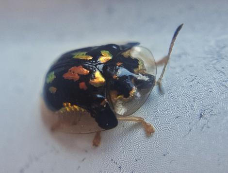 Mottled Tortoise Beetle, Deloyala guttata