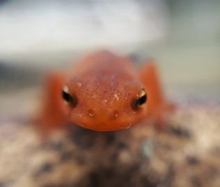 The Eastern Newt