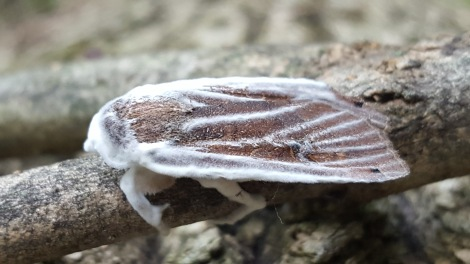 Moth with Akanthomyces