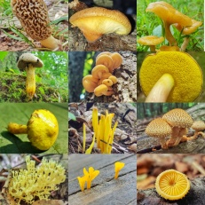 Yellow Mushroom Collage