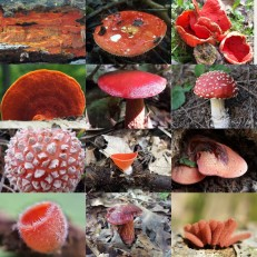 Red Mushroom Collage