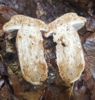 Boletus variipes var. fagicola