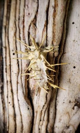 Akanthomyces aculeatus on Moth