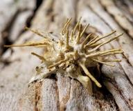 Akanthomyces aculeatus