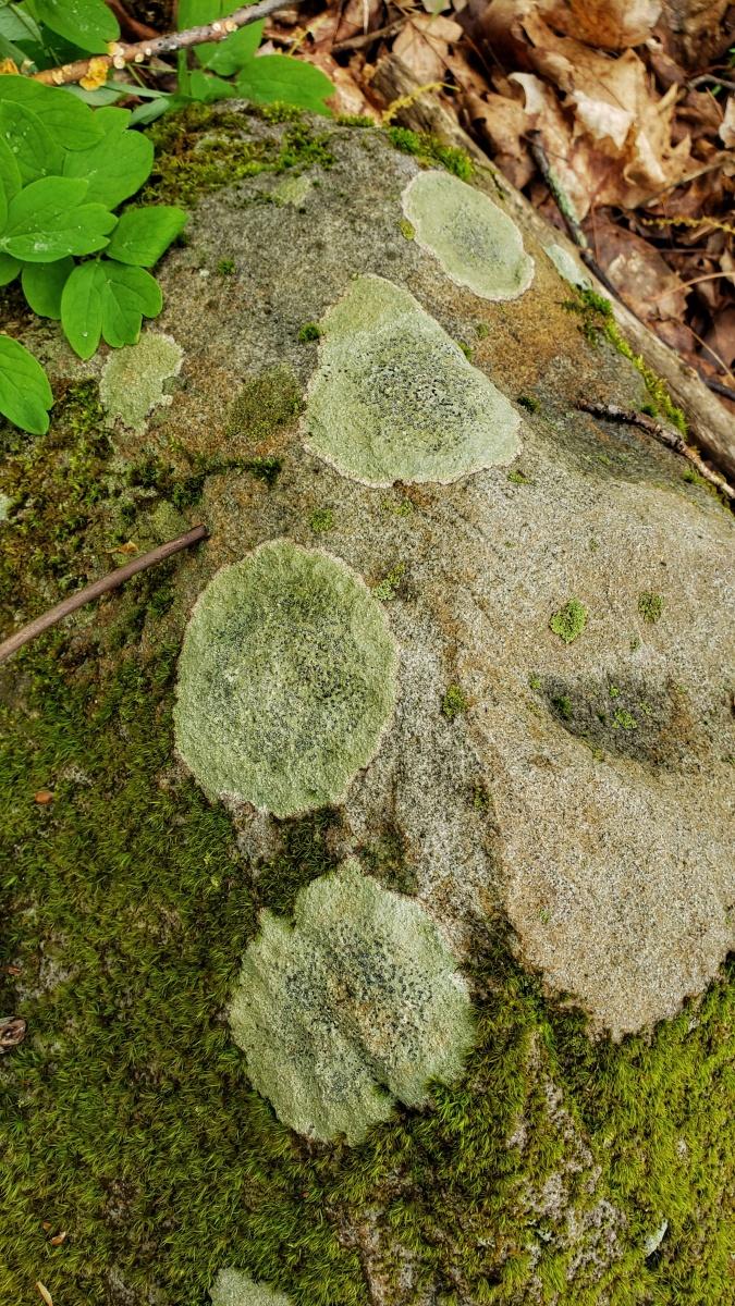 Smokey-Eyed Boulder Lichen